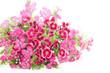 Pink dianthus bartatus