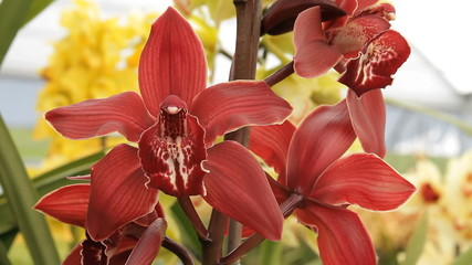 Orchids red