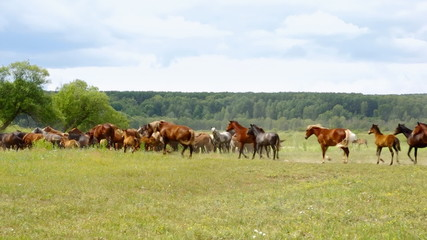 Herd of horses galloping through the meadow, summer day.