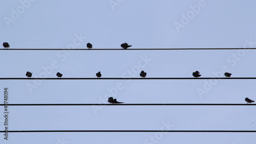 Common Tailorbirds Perched on power lines