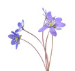 Liverleafs, hepatica nobilis isolated on white background
