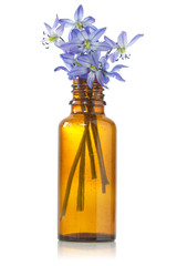 blue hepatica flowers in a bottle