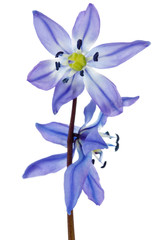 hepatica flower