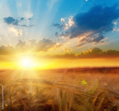 Leinwandbild Motiv golden sunset over field with barley