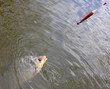 Fighting the Carp (Crucian Carp) on a fishing line.