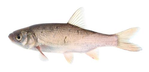 The common dace (Leuciscus leuciscus).