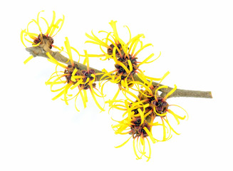 Witch Hazel Isolated