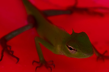 Lizard on a red