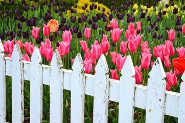 Tulip garden with fence