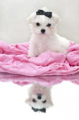 Glamour maltese puppy