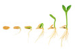 Leinwanddruck Bild - Sequence of pumpkin plant growing isolated, evolution concept