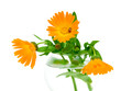 marigold flowers and ladybug on a white background