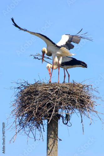 Pair of storks building the nest