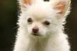 Chihuahuagesicht