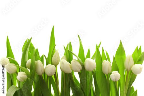 Weiße Tulpen - 40774643