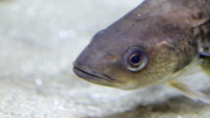 Salmon alive