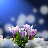 Fototapety Crocus in the snow
