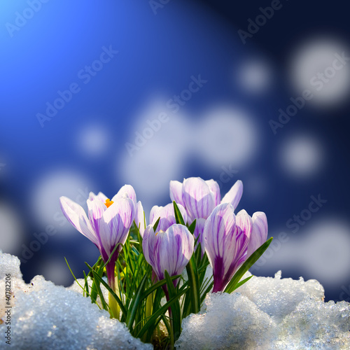 Foto op Plexiglas Krokussen Crocus in the snow