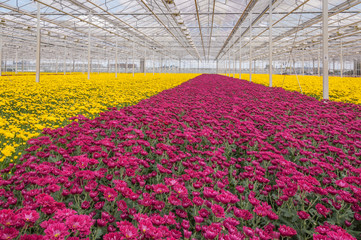 Colorful chrysanthemums in a Dutch flower nursery
