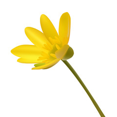 Yellow wild flower Ranunculus ficaria  ness isolated
