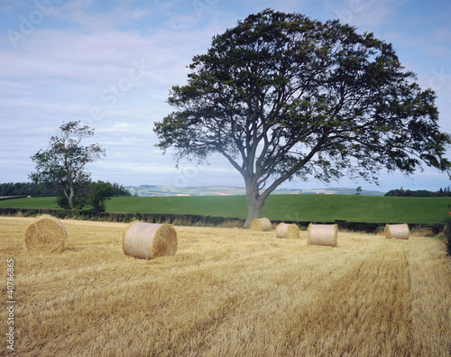 Haybales in harvested crop fields