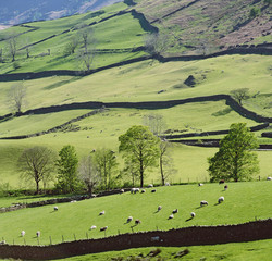 Sheep grazing on rural hillside