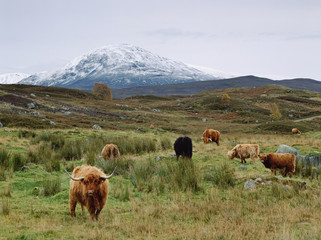 Highland cattle grazing in rural fields
