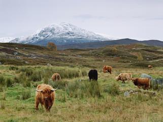 Highland cattle grazing in rural fields