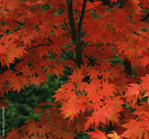 Close up of red autumn leaves