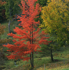 Red autumn tree in rural forest