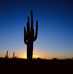 Silhouette of cactus plant in desert landscape