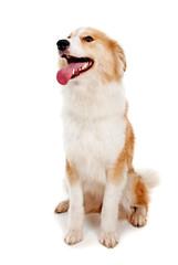 Red dog on white background