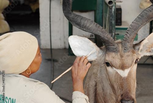 Leinwandbild Motiv Tierpräparator bei der Arbeit