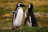 Magellan Pinguin, Patagonia, Chile