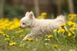 Chihuahua läuft im Löwenzahn
