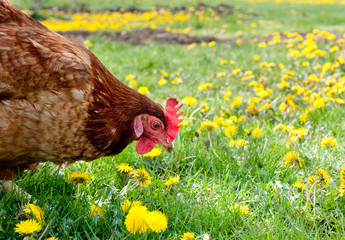 Hen in the meadow