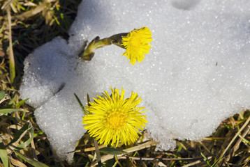 coltsfoot bloom spring snow plant unafraid cold