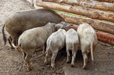 Wild boar feeding in wooden enclosure in the farm poster