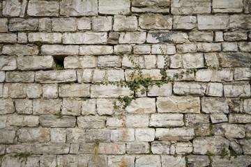 edera su un muro