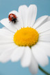 red ladybird on white margarita daisy on turquoise background