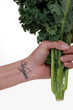 Hand holding Kale bunch