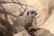 A meerkat (S. Suricata)