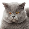 British shorthair cat on a white background.