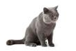 british cat isolat