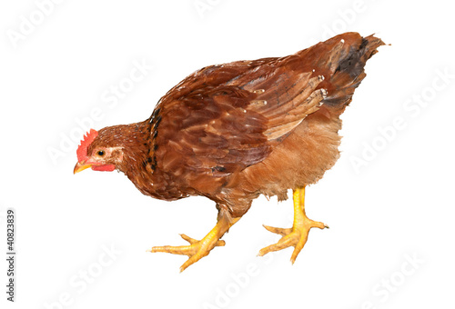 brown chicken isolated on white