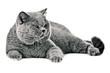 British shorthair cat on
