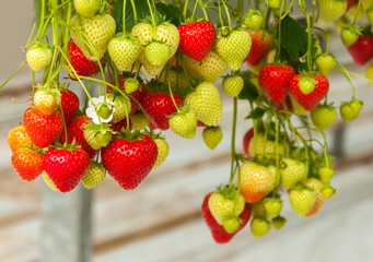 Strawberries hanging in a Dutch greenhouse