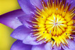 Purple water lily with yellow stamens and honeybee