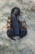 wild scorpion: male Euscorpius italicus