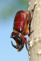 Oryctes nasicornis on tree